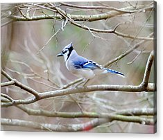 Blue Jay Acrylic Print by George Randy Bass