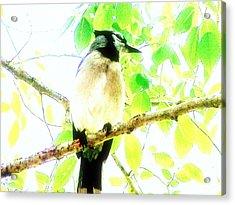 Acrylic Print featuring the photograph Blue Jay IIi by Clarice  Lakota