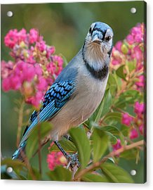 Blue Jay In Crepe Myrtle Acrylic Print