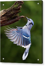 Acrylic Print featuring the photograph Blue Jay In Flight by Mircea Costina Photography