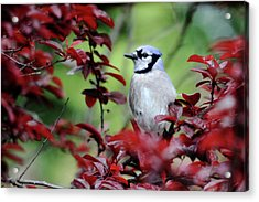 Blue Jay In The Plum Tree Acrylic Print