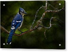 Acrylic Print featuring the photograph Blue Jay In Tree by Michael Cummings