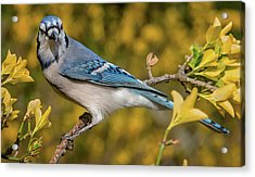 Blue Jay In Yellow Spring Acrylic Print