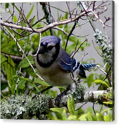 Blue Jay Acrylic Print by Michael Albright