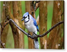 Blue Jay On A Branch Acrylic Print