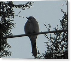 Blue Jay On Wire Acrylic Print