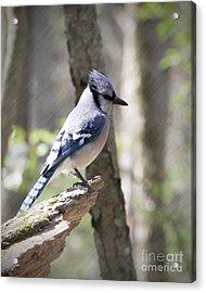Blue Jay Perch Acrylic Print by Anita Oakley