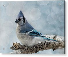 Acrylic Print featuring the photograph Blue Jay Perch by Patti Deters