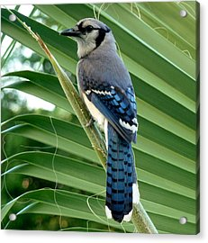 Blue Jay Protector Acrylic Print by Kicking Bear  Productions