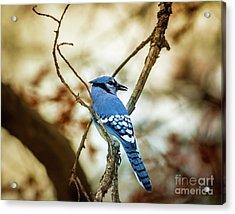 Blue Jay Acrylic Print by Robert Frederick