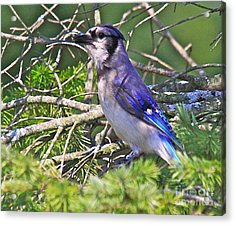 Blue Jay Acrylic Print by Robert Pearson