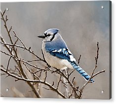 Blue Jay Way Acrylic Print by Lara Ellis