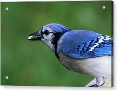 Blue Jay With Seed Acrylic Print