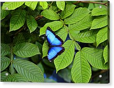 Blue Leaves - Morpho Butterfly Acrylic Print