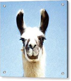 Acrylic Print featuring the photograph Blue Llama by Sue Collura