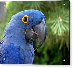 Blue Macaw Parrot Acrylic Print