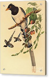 Blue Magpie, Urocissa Magnirostris Acrylic Print