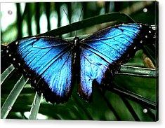 Blue Morph Acrylic Print by Diane Wallace
