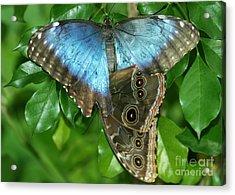Blue Morpho Butterflies Acrylic Print by Sabrina L Ryan