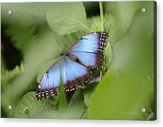 Blue Morpho Butterfly Acrylic Print by Mike Lytle