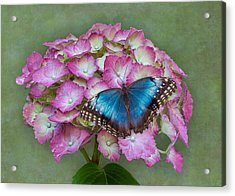 Acrylic Print featuring the photograph Blue Morpho Butterfly On Pink Hydrangea by Patti Deters
