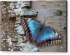 Blue Morpho Butterfly On White Birch Bark Acrylic Print