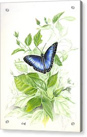Blue Morpho On Hibiscus Acrylic Print