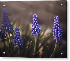 Blue Muscari Acrylic Print by Eduard Moldoveanu