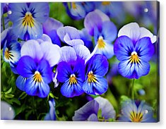 Blue Pansies Acrylic Print by Tamyra Ayles