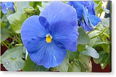 Blue Pansy Flower Acrylic Print by Charlotte Gray