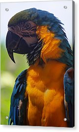 Blue Parrot Acrylic Print