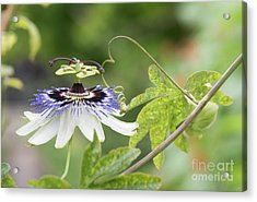 Blue Passion Flower In An English Garden Acrylic Print