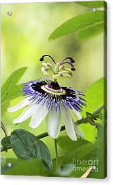 Blue Passion Flower Acrylic Print