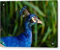 Blue Peacock Acrylic Print by Daniel Precht