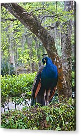 Blue Peacock  Acrylic Print by Joan Reese
