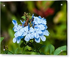 Blue Peddles Acrylic Print