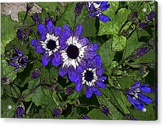 Blue Pericallis Senetti Acrylic Print by Mina Thompson
