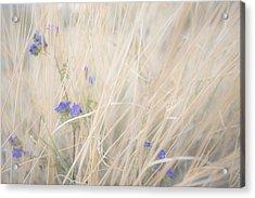 Blue Phacelia Acrylic Print