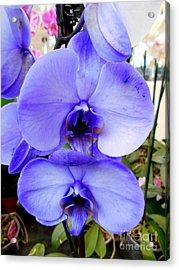 Blue Phalaenopsis Orchid Acrylic Print