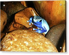 Acrylic Print featuring the photograph Blue Poison Dart Frog by Anthony Jones
