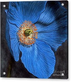 Blue Poppy Acrylic Print by Lawrence Supino