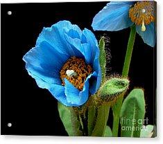 Blue Poppy Acrylic Print by Robert Nankervis