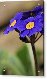 Blue Primrose Acrylic Print by Amy Neal