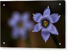 Blue Sixpetal Acrylic Print