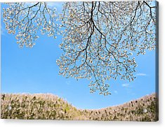 Blue Skies And Dogwood Acrylic Print by Tamyra Ayles