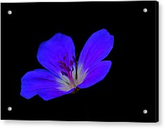 Blue Stamen Acrylic Print
