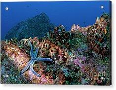 Blue Starfish On Rock Acrylic Print by Sami Sarkis