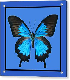 Blue Swallowtail Butterfly Acrylic Print by Lisbet Sjoberg
