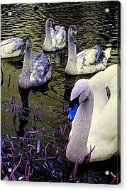 Blue Swan Acrylic Print