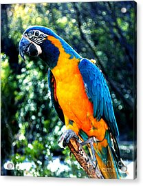 Blue Throated  Macaw 2 Acrylic Print